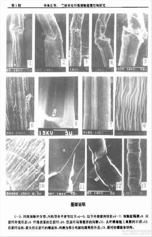 苎麻韧皮纤维细胞超微结构研究
